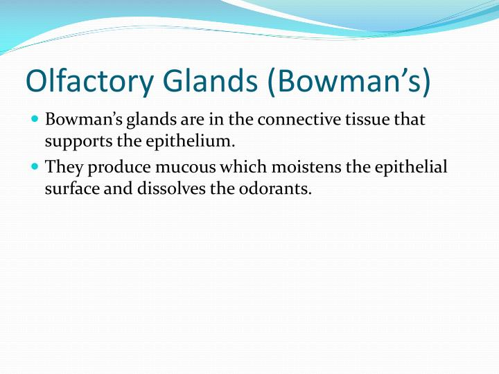 Olfactory Glands (Bowman's)