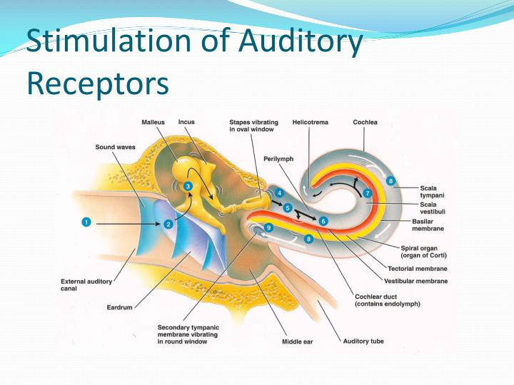 Stimulation of Auditory Receptors