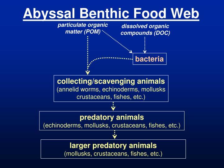 Abyssal Benthic Food Web
