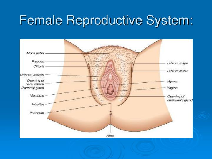 Female Reproductive System Definition Of Ppt Nursing Care During Antepartum Powerpoint