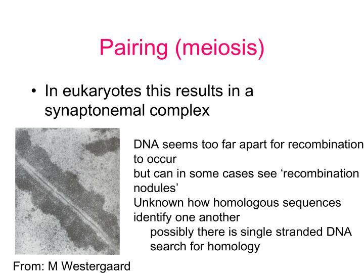 Pairing (meiosis)