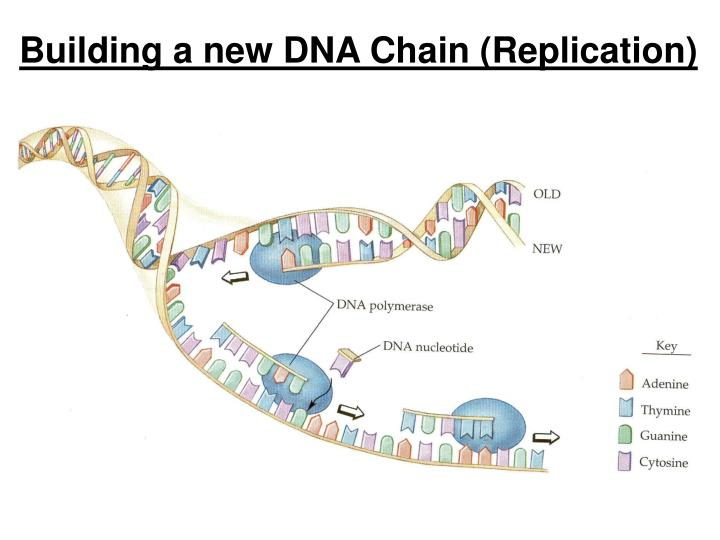 Building a new DNA Chain (Replication)