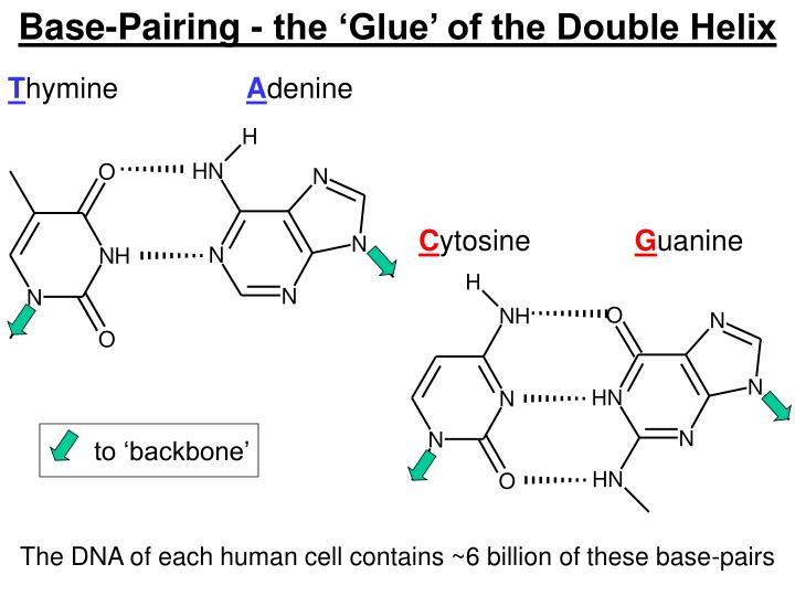 Base-Pairing - the 'Glue' of the Double Helix
