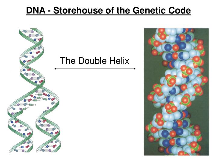 DNA - Storehouse of the Genetic Code