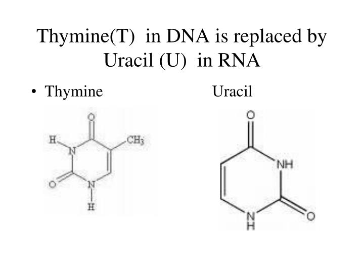 Thymine(T)  in DNA is replaced by Uracil (U)  in RNA