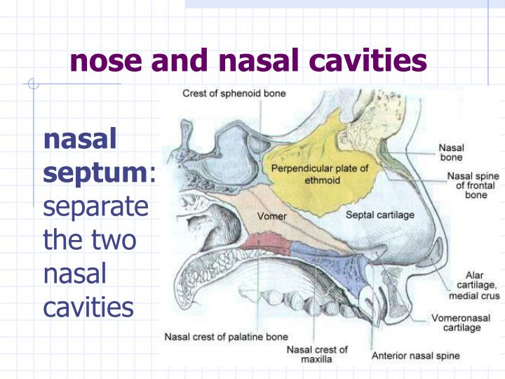 nose and nasal cavities