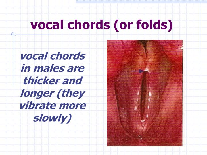 vocal chords (or folds)