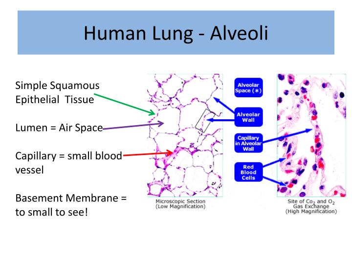 Human Lung - Alveoli
