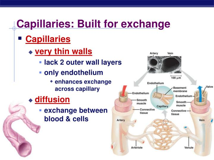 Capillaries: Built for exchange