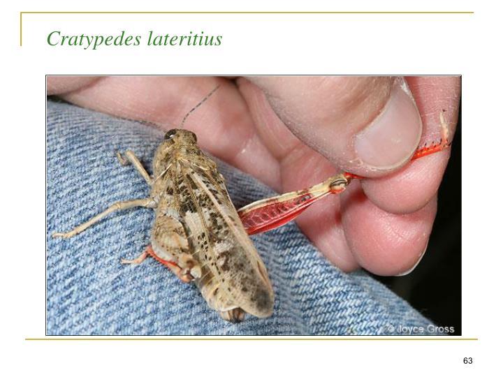 Cratypedes lateritius