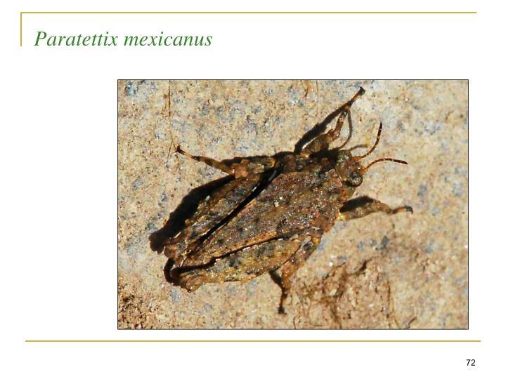 Paratettix mexicanus