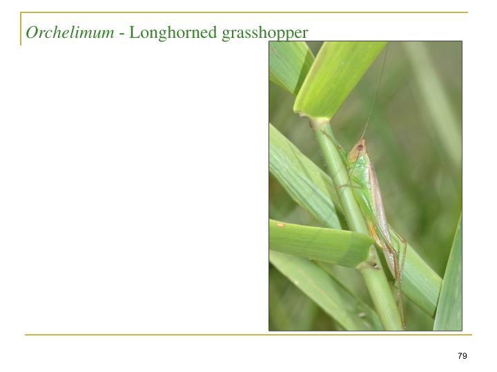 Longhorned grasshopper