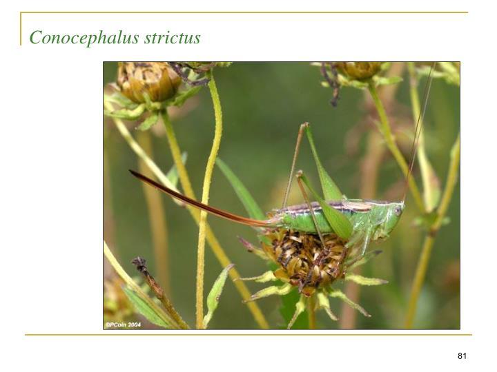 Conocephalus strictus