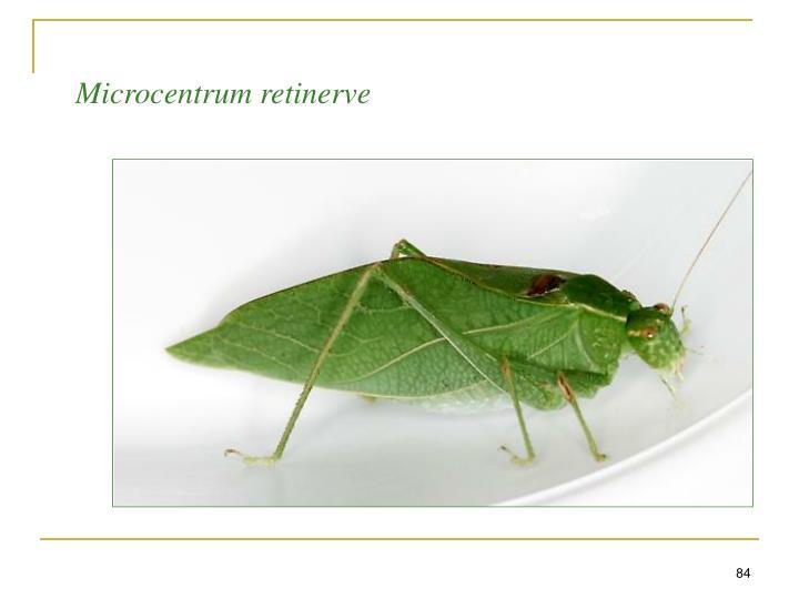 Microcentrum retinerve