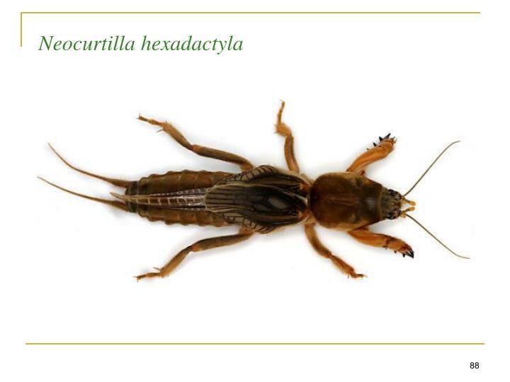 Neocurtilla hexadactyla