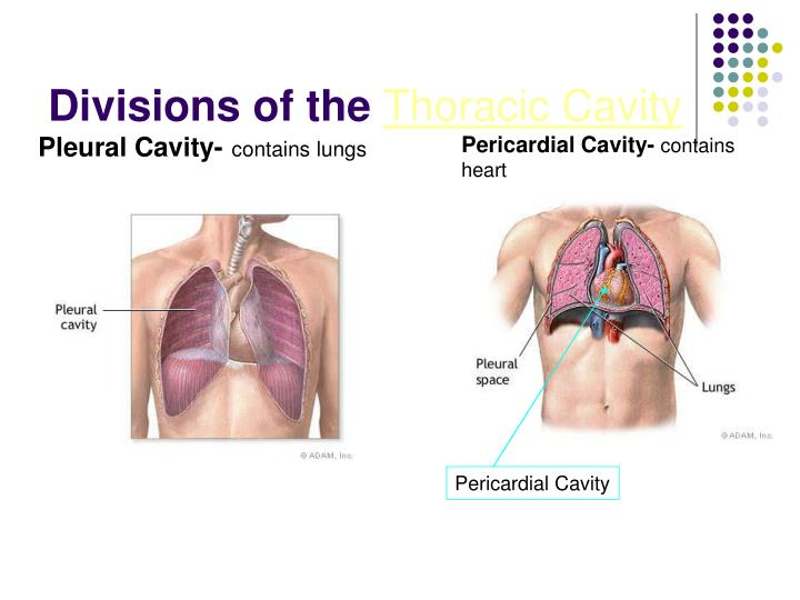 Divisions of the thoracic cavity