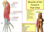 muscles of the forearm post view