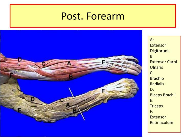 Post. Forearm