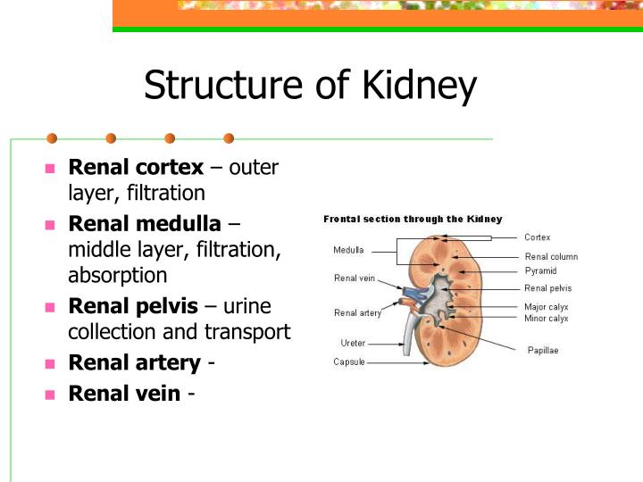 Structure of Kidney