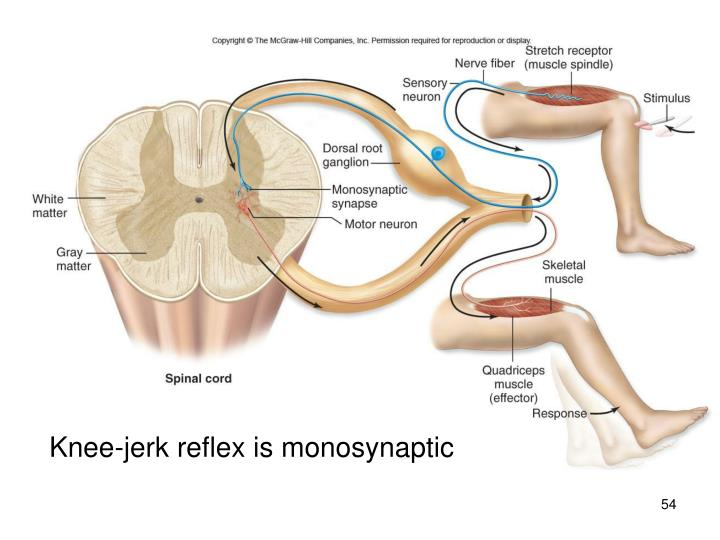 Knee-jerk reflex is monosynaptic