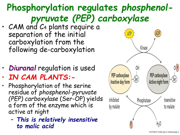 Phosphorylation regulates