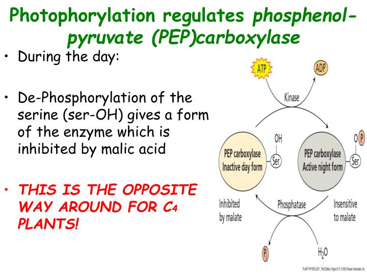 Photophorylation regulates