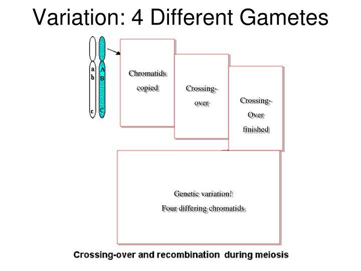 Variation: 4 Different Gametes