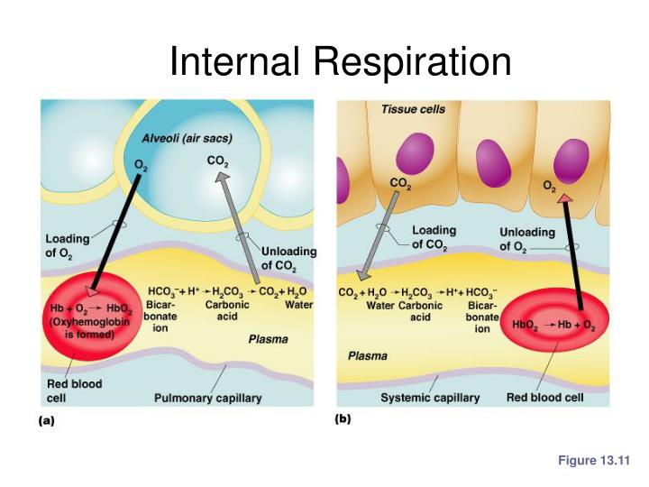 Internal Respiration