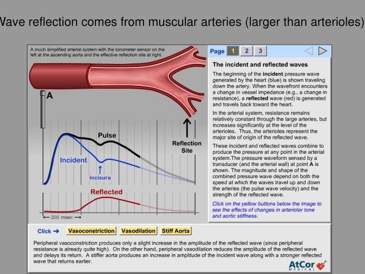 Wave reflection comes from muscular arteries (larger than arterioles)