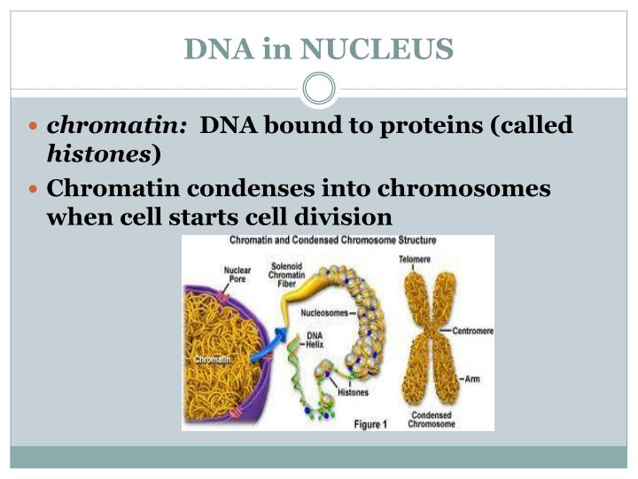 DNA in NUCLEUS