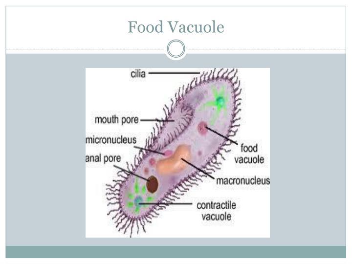 Food Vacuole
