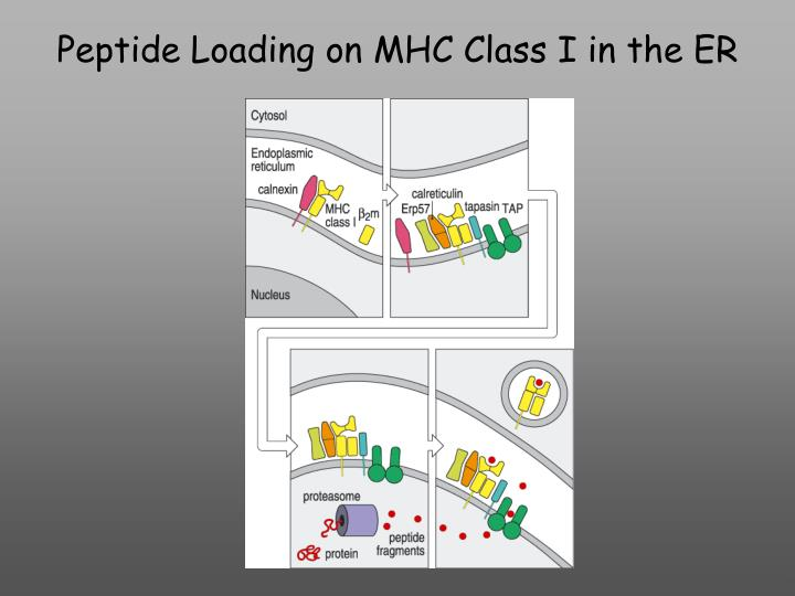 Peptide loading on mhc class i in the er