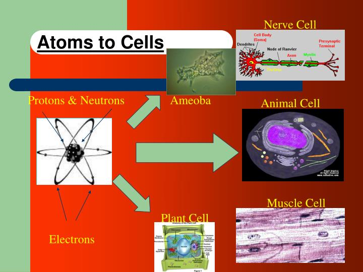 Atoms to cells