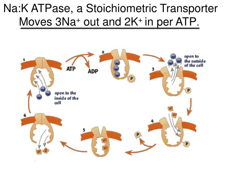 Na:K ATPase, a Stoichiometric Transporter