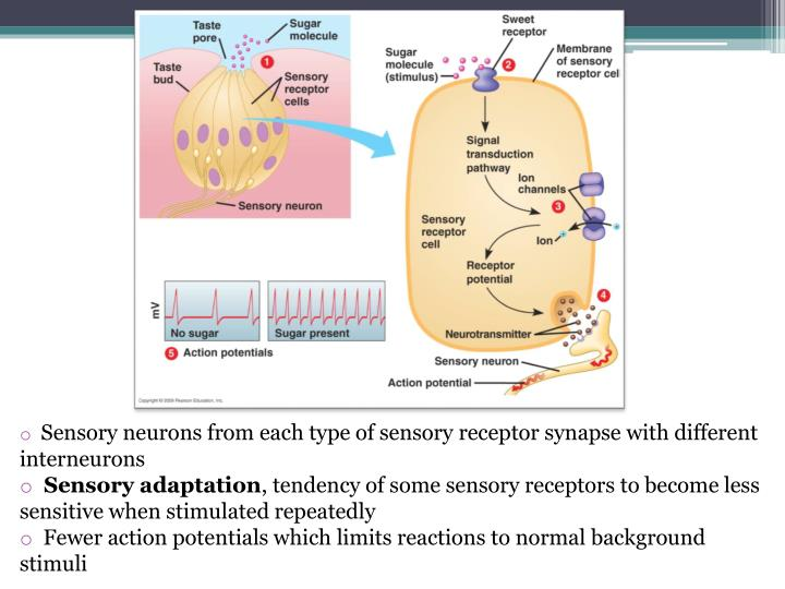 Sensory neurons from each type of sensory receptor synapse with different  interneurons
