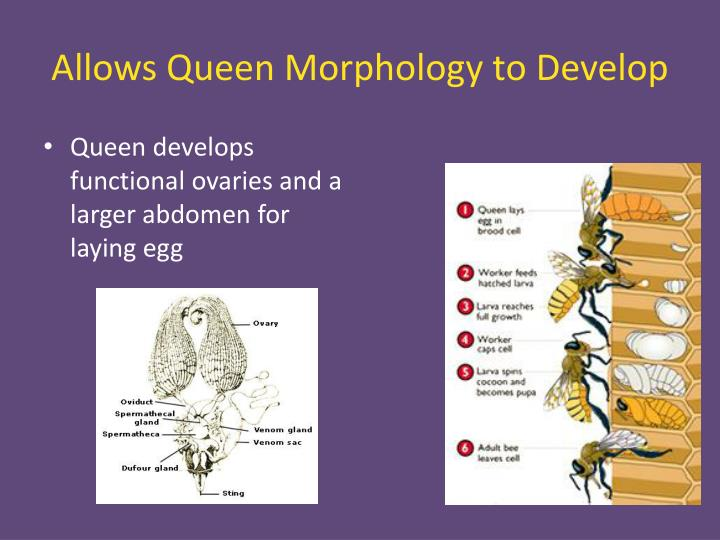 Allows Queen Morphology to Develop