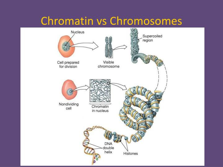 Chromatin vs Chromosomes