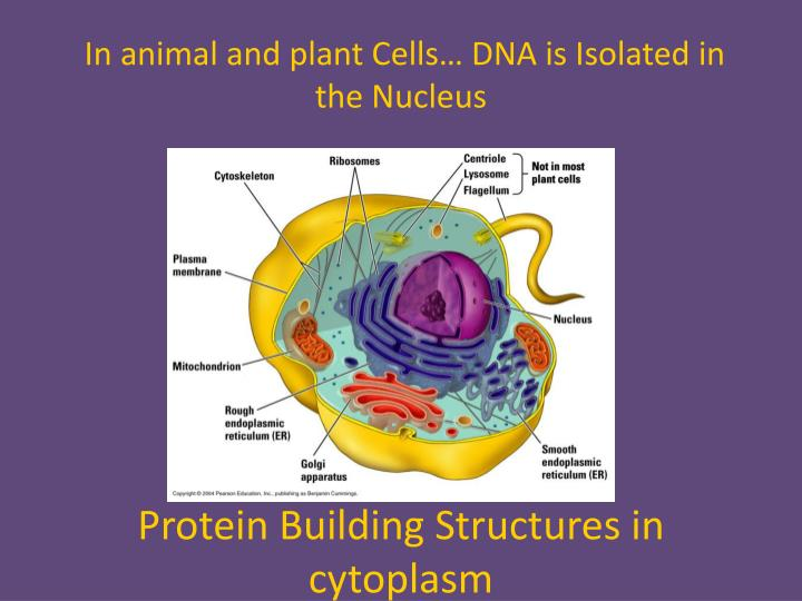 In animal and plant Cells… DNA is Isolated in the Nucleus