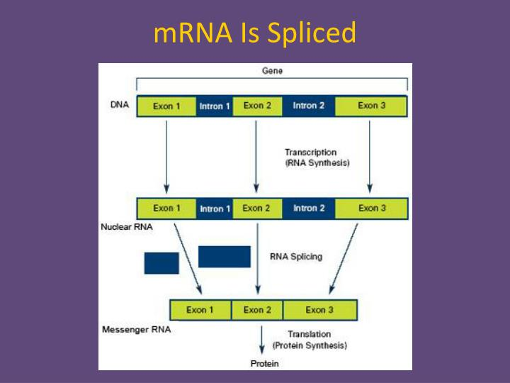 mRNA Is Spliced