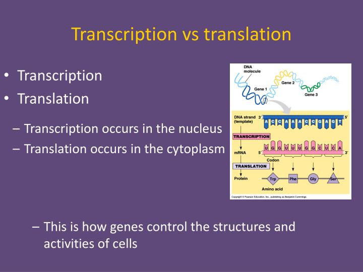 Transcription vs translation