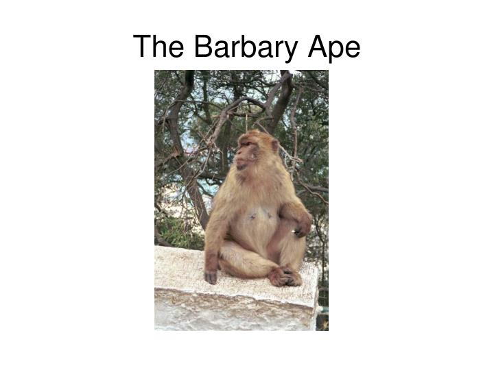 The Barbary Ape