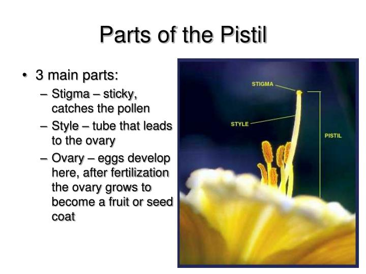 Parts of the Pistil