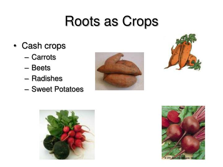 Roots as Crops