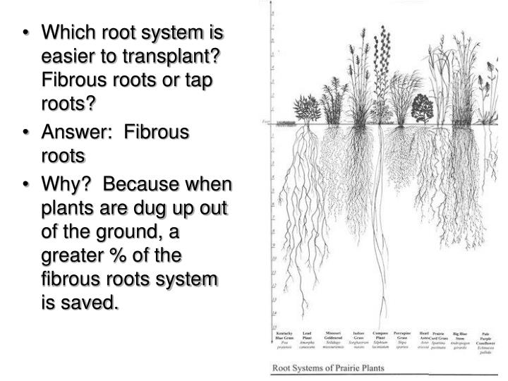 Which root system is easier to transplant?  Fibrous roots or tap roots?