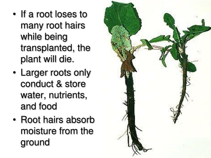 If a root loses to many root hairs while being transplanted, the plant will die.