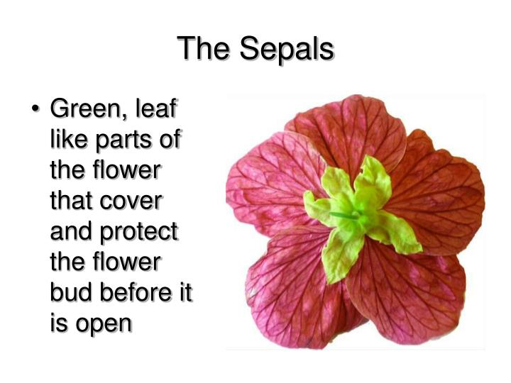 The Sepals