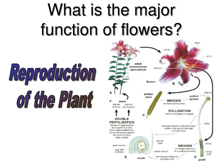 What is the major function of flowers?