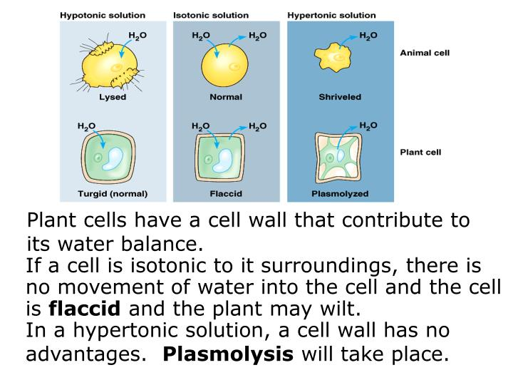 Plant cells have a cell wall that contribute to its water balance.