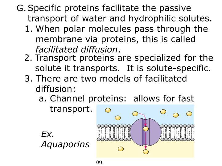 Specific proteins facilitate the passive