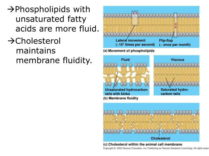 Phospholipids with